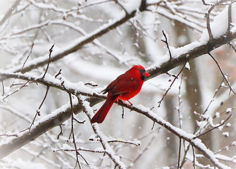January of 2020 calendar- photo of a cardinal in the snow