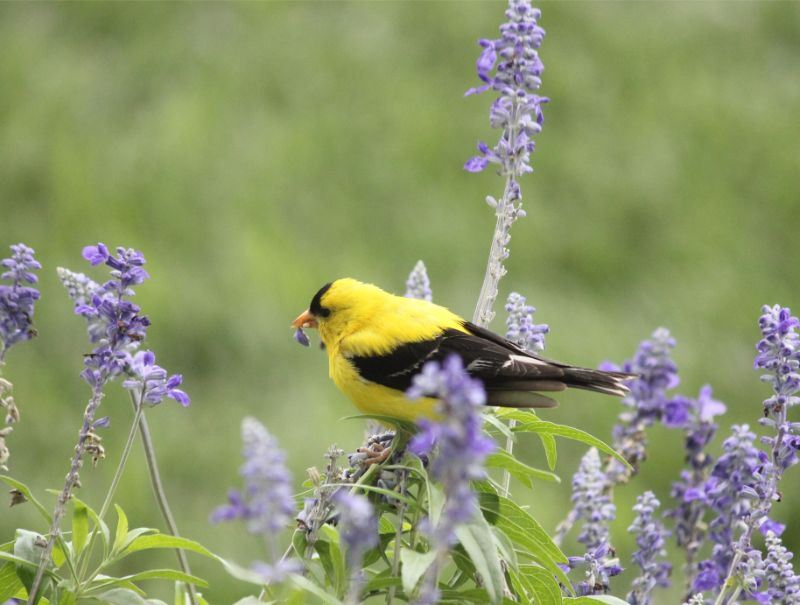 August Image for 2020 Calendar - photo of a yellow bird in purple flowers
