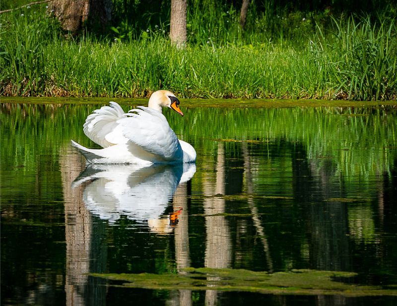 September Image for 2020 Calendar - photo of a swan on a lake