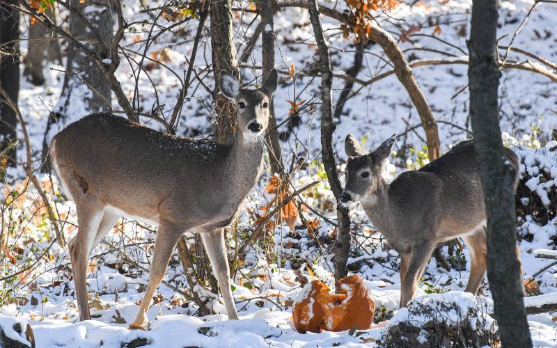 November Image for 2020 Calendar - photo of 2 deer in the snow eating a pumpkin